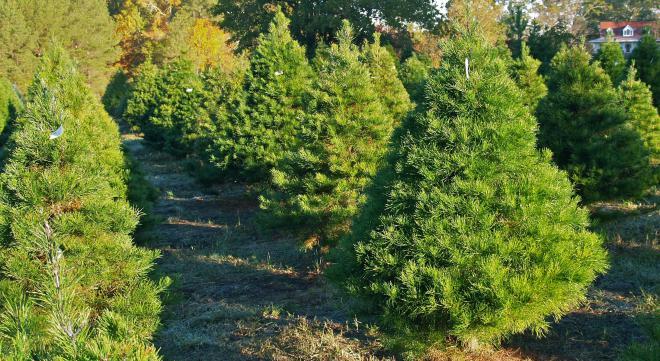 Virginia Pine Net Worth
